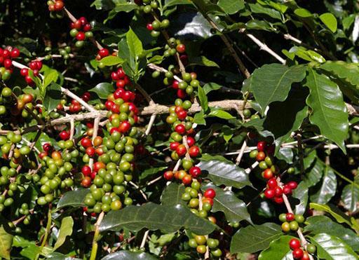 Плоды кофейного кустарника